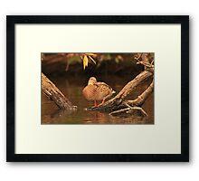 Lake Okauchee Mallard Framed Print