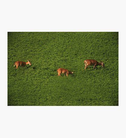 Deer in Bean Field Photographic Print