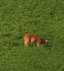 Deer in Bean Field Sticker