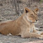Lioness in winter  by fitch