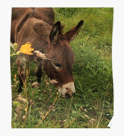 Hot Wheezing Donkey Poster