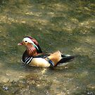 Duck by zaphos
