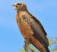 Yellow-billed Kite - African Raptors of Power by LivingWild