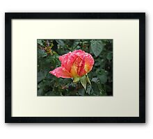 Wet and Wild Rose Framed Print