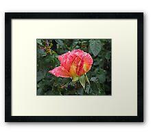 Wet and Wild Rose Framed Print