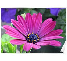 Pink and Purple - Cape Daisy and Petunias Poster