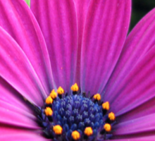 Pink and Purple - Cape Daisy and Petunias Sticker