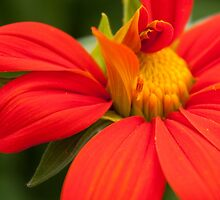 Mexican Sunflower by Megan Campbell