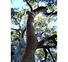 One BIG Tree Photographic Print