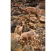 Silver Canyon Bighorn Sheep Photographic Print
