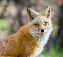 Red Fox Portrait by Jay Ryser