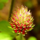 Crimson Clover Close Up by WildestArt