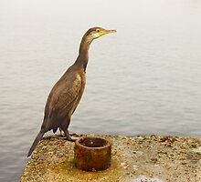 Cormorant by Stevie Mancini