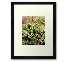 Crassula capitella botanical photography Framed Print