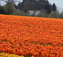 In the land of Tulips by Jennifer Vickers