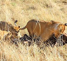 Lioness with Cubs, Moving a Wildebeest Kill, Maasai Mara, Kenya  by Carole-Anne