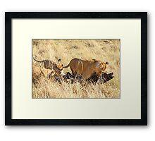 Lioness with Cubs, Moving a Wildebeest Kill, Maasai Mara, Kenya  Framed Print