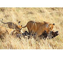 Lioness with Cubs, Moving a Wildebeest Kill, Maasai Mara, Kenya  Photographic Print