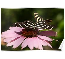 Zebra Longwing butterfly photography Poster