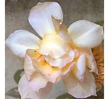 Aged Beauty is a Rose Photographic Print