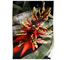 The Red Bromeliad Poster