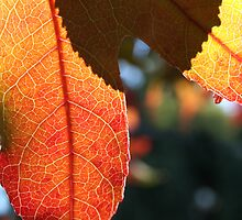 Autumn leaf and shadow by aquarian