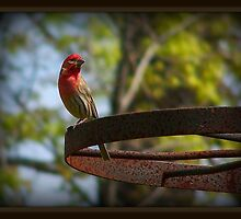 Male House Finch by Kristie King