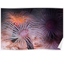 Tube Anemones with a 60s Vibe Poster