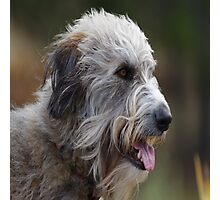 Irish Wolf Hound  Photographic Print