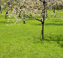 Spring Orchard by Walter Quirtmair