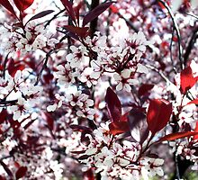Ornamental Cherry  by melynda blosser