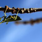 It's An Upside World... Praying Mantis, Free State, South Africa  by Qnita