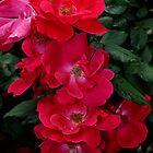 Rose Cascade by Bradley Miller