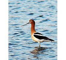 American Avocet - Breeding Colors Photographic Print