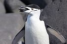 """Chinstrap Penguin ~ """"The Geologist"""" by Robert Elliott"""