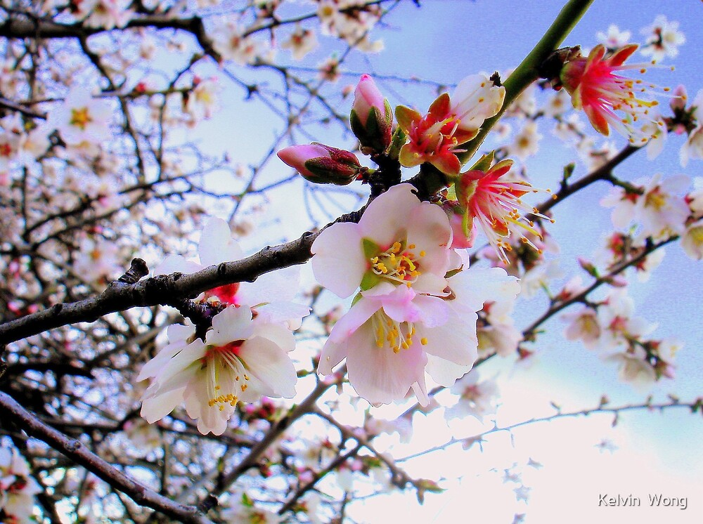 Almond Blossom by Kelvin  Wong