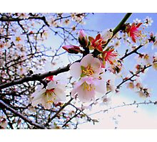 Almond Blossom Photographic Print