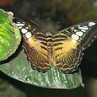 Butterfly 7 by Dan Perez