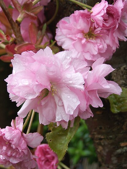 Cherry blossom in the rain by LoneAngel
