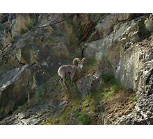 American Bighorn Sheep I Photographic Print