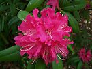 Red rhododendron by LoneAngel