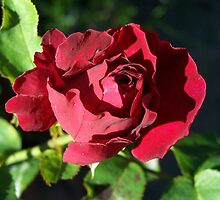 Enchanting Deep Red Rose by LoneAngel