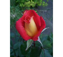 Rose Bud ..Red and Yellow Petals Photographic Print