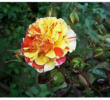 Rose of many colours Photographic Print