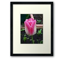 Tulip ..  Sprinkled with rain Framed Print