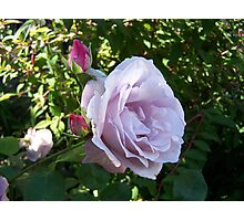 The rose Blue Moon Photographic Print