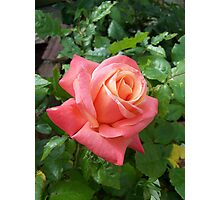 The rose Cliff Richard Photographic Print