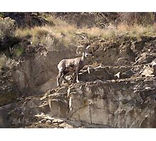 American Bighorn Sheep IV Photographic Print