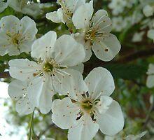 cherry blossom by MelanieB