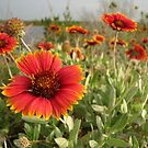 Indian Blanket (Gaillardia pulchella) by Rebecca Cruz